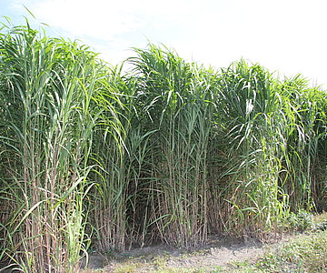 Miscanthus will increase your profits